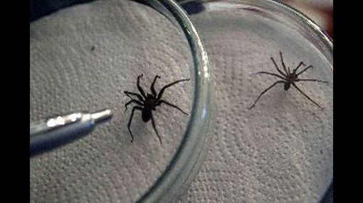 Picadura de arañas caseras pueden resultar mortales, advierte Minsa