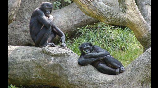 """Simios usan encuentros homosexuales para """"mejorar estatus"""""""