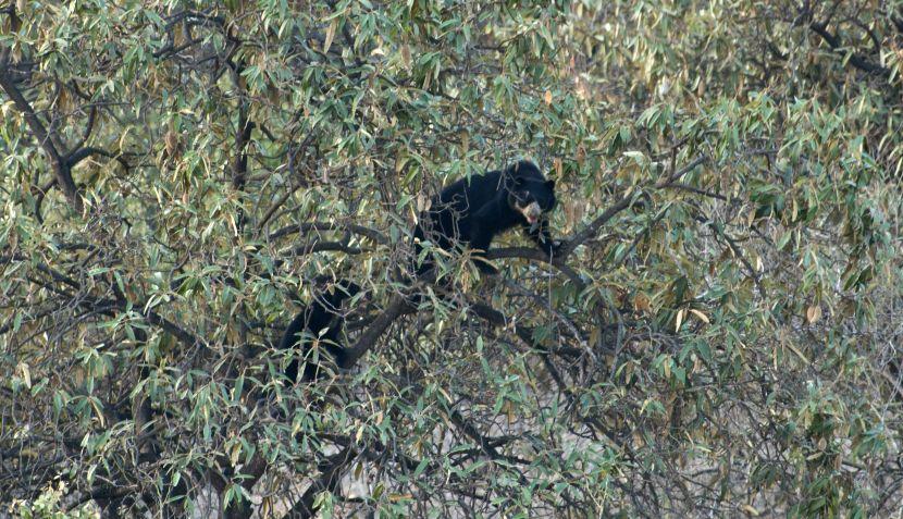 FOTOS: los osos de anteojos de Lambayeque y su hábitat en peligro