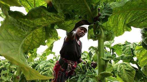 Sequía ataca Zimbabue y aumenta el riesgo de crisis alimentaria