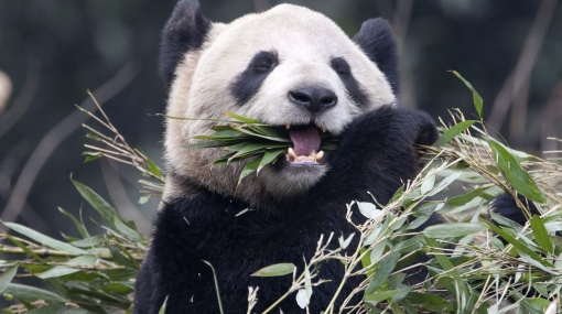 El té más caro del mundo es fertilizado con heces de oso panda
