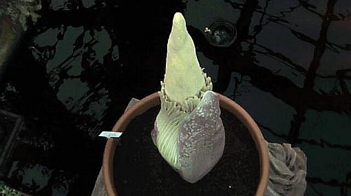 La flor más grande del mundo huele a pescado podrido para atraer insectos