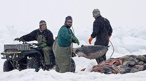 400 mil focas serán matadas en Canadá durante temporada de caza