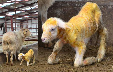 Científicos clonaron oveja portadora de grasa buena para el corazón