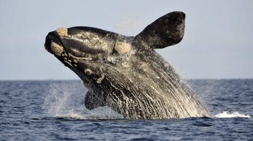 Una aplicación para salvar a la ballena franca