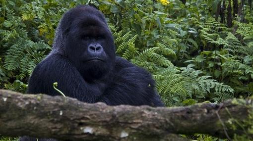 Gorilas en la niebla una visita al hogar de esta especie for Gorilas en la niebla