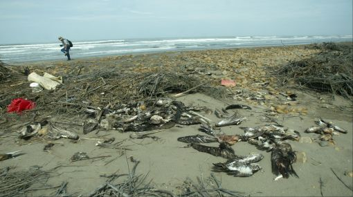 Aparecen más de 1.200 pelícanos muertos en playas del litoral norte