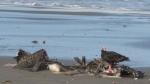 Imarpe todavía no determina el tipo de virus que mata a delfines y pelícanos - Noticias de stefan austermuhle