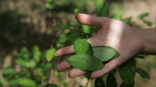 El Perú se mantiene como segundo productor mundial de hoja de coca
