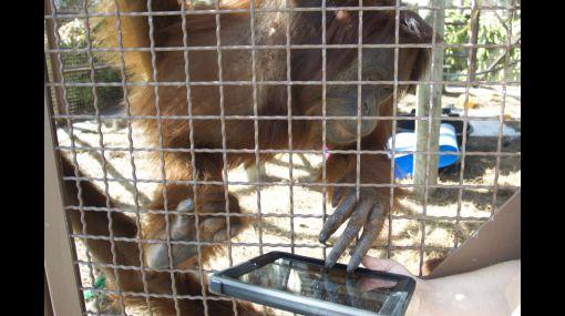 Los orangutanes en Miami usan el iPad para comunicarse