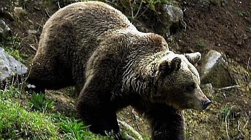 Celo de osos obliga a cerrar el Valle de los Géiseres