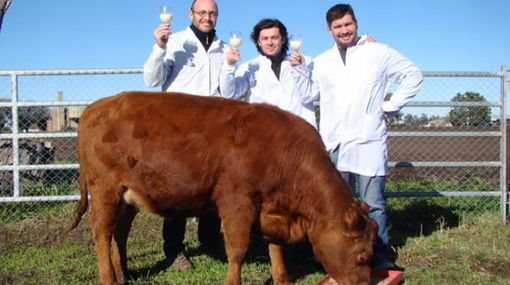 Vaca clonada con genes humanos produce leche similar a la materna