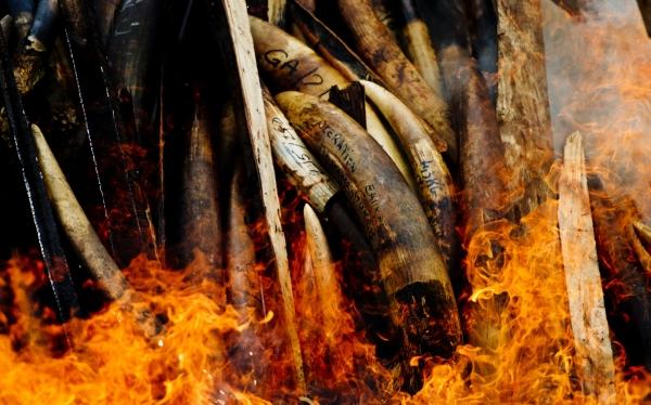 Queman 5 toneladas de marfil como protesta en Gabón