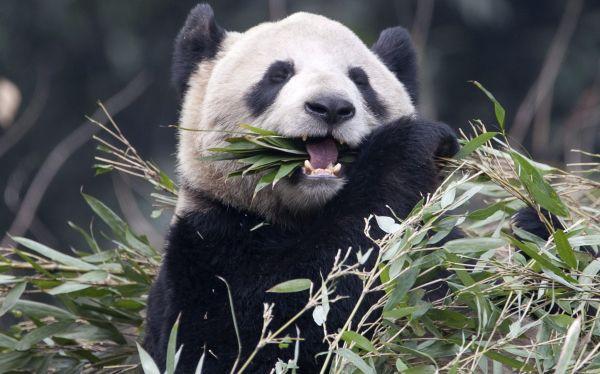 Nació el primer oso panda gigante en 24 años en zoológico de Tokio