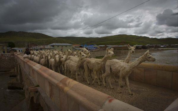 Arequipa: intenso frío mata al 4% de camélidos