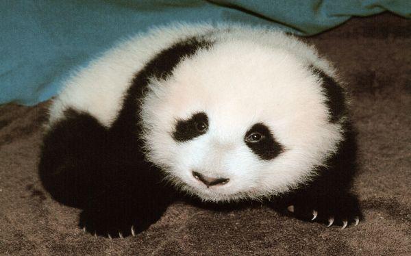 China le dio la bienvenida a los primeros osos panda mellizos del año