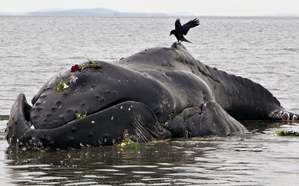 Corea del Sur no reanudará la caza científica de ballenas por las fuertes críticas internacionales