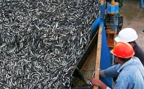 (Editorial) Anchoveta: punto final - Noticias de pesca de anchoveta