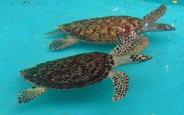 Tecnología satelital para salvar a la tortuga carey de la extinción