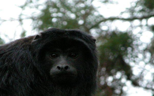 Monos reciben tratamiento antidepresivo tras la muerte de sus compañeras
