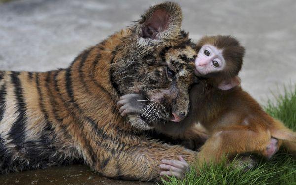 Un cachorro de tigre y un mono bebé se divierten juntos en el zoológico