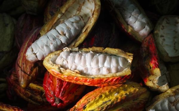 Mayas habrían utilizado el cacao como condimento hace 2.500 años