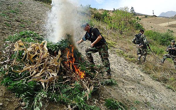 Policía destruyó plantones de marihuana valorizados en US$ 15 mlls