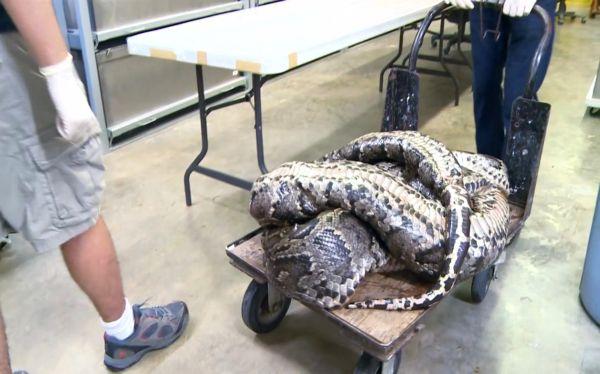 FOTOS: una serpiente de 5,6 metros fue capturada en los Everglades