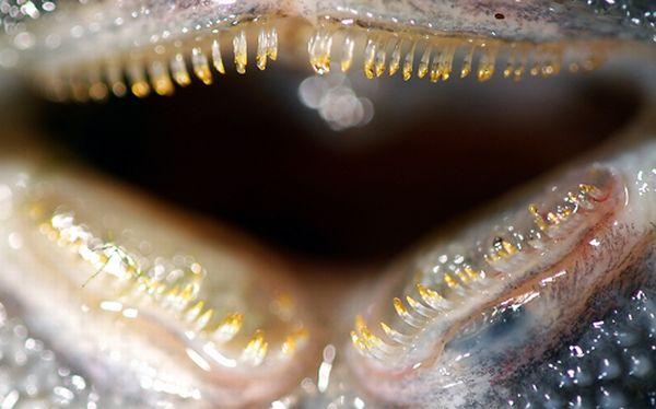 Descubren la única dentadura flexible en un animal