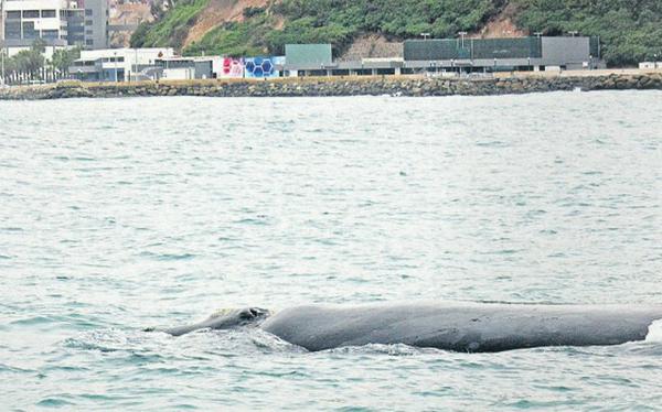 Una ballena y su cría recorren el mar de Chorrillos, Barranco y Miraflores