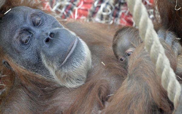 Una orangután de 40 años dio a luz en Alemania