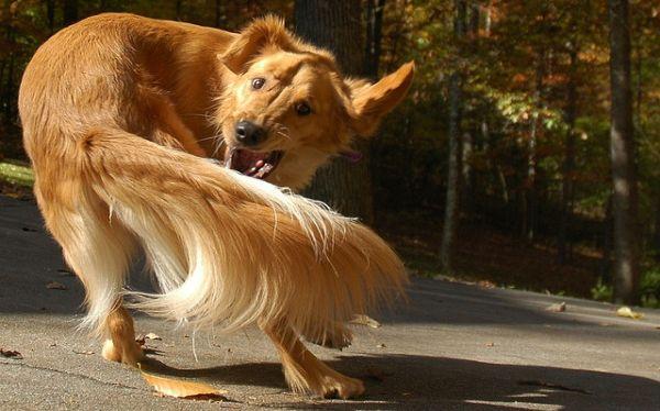 Los perros que persiguen sus colas padecerían desórdenes compulsivos