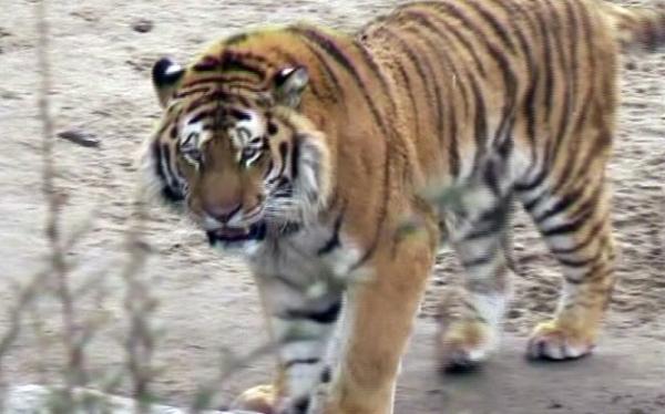 Un tigre es abatido tras matar a su cuidadora en un zoológico alemán