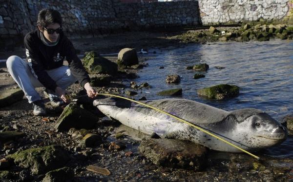 FOTOS: rescataron con éxito a un leopardo marino que quedó varado en puerto de Chile