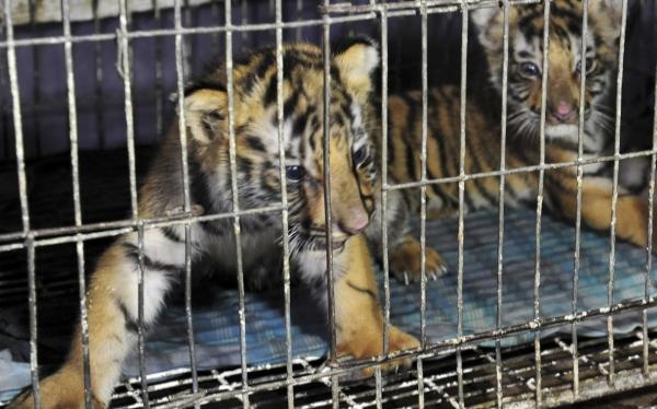 Paraguay acogió a tigres y leones detenidos en la frontera