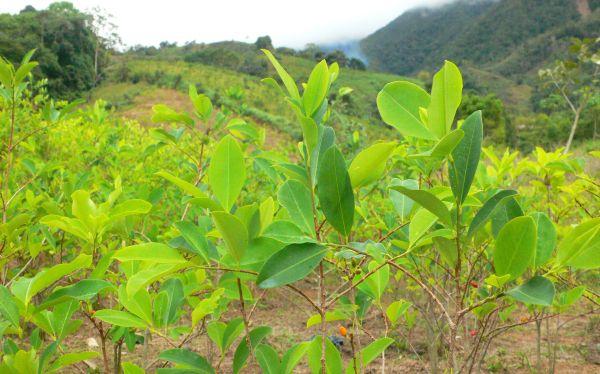 Erradicación de hoja de coca en la selva central alcanza 10.400 hectáreas este año