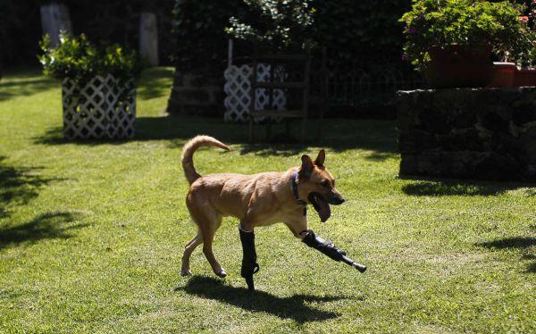 México: conoce a Pay de Limón, el perro amputado por narcotraficantes que sobrevive con dos prótesis