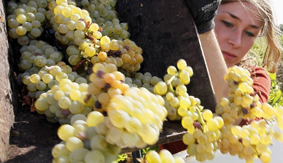 FOTOS: la tradicional vendimia francesa, el origen de exquisitos vinos