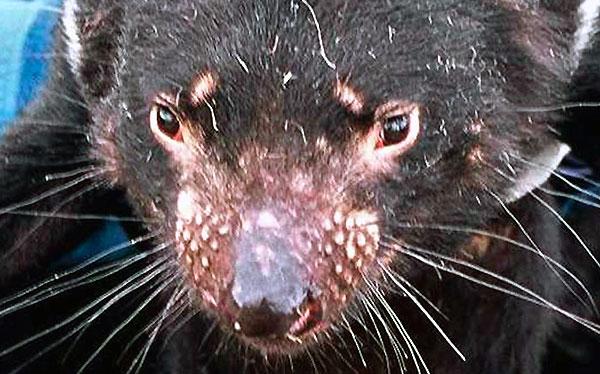 La agresividad de los demonios de Tasmania podría llevarlos a la extinción