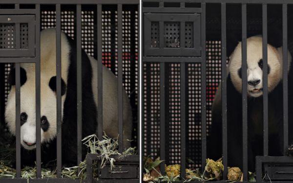FOTOS: Singapur le da la bienvenida a una pareja de pandas gigantes