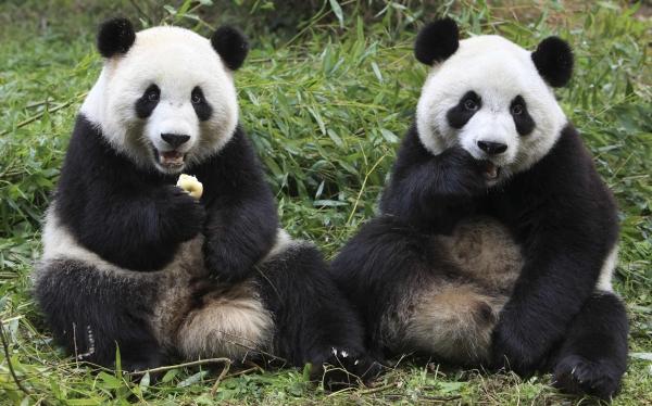 Osos panda podrían salvarse de la extinción gracias al ecoturismo
