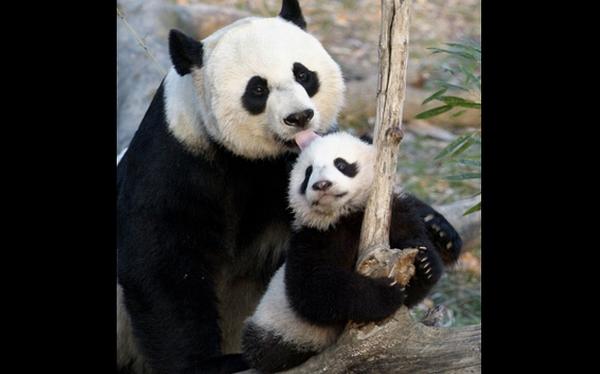 Murió el panda recién nacido en el Zoológico de Washington