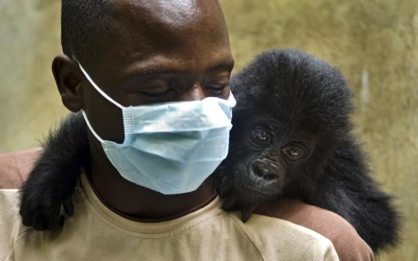 Gorilas en peligro de extinción se ven amenazados en República del Congo