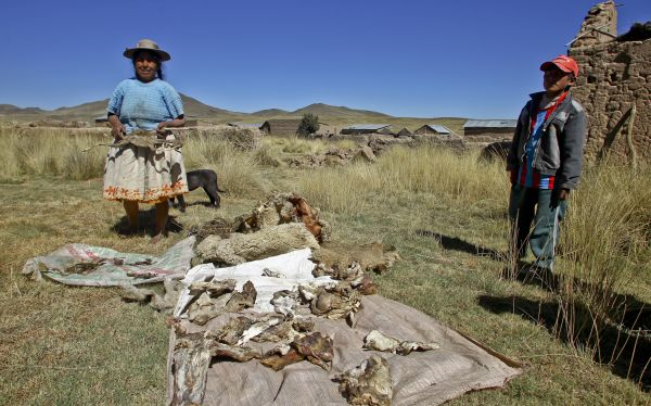 Espinar: ganado de comuneros continúa muriendo cerca de minera Xstrata