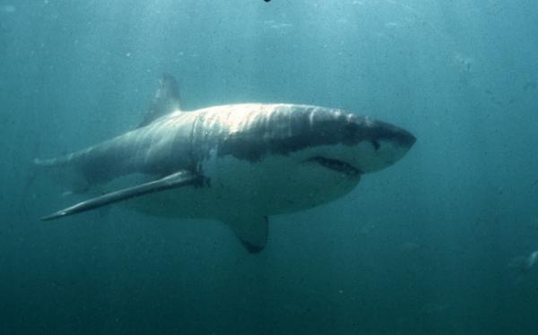 Nueva Zelanda protegerá tiburones mientras que Australia los matará apenas se acerquen a sus costas