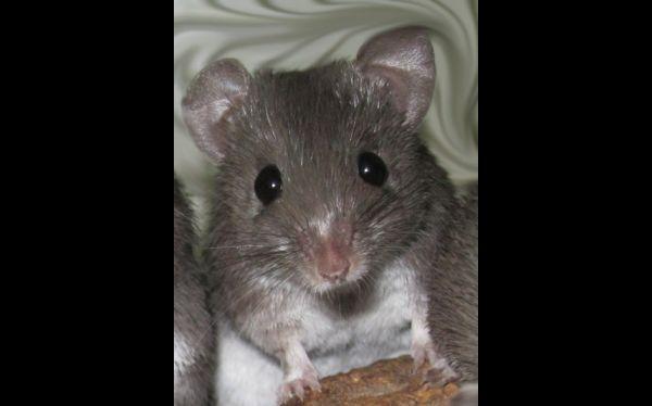 Descubren un tipo de ratón que puede regenerar sus tejidos dañados
