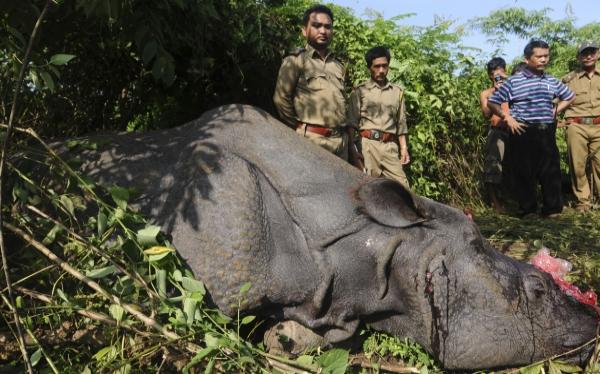 India: murió rinoceronte al que le dispararon para sacarle el cuerno