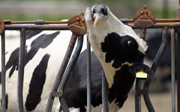 Una vaca modificada genéticamente produce leche antialérgica