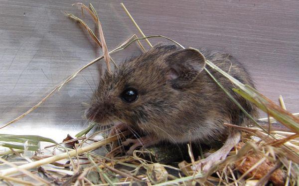 Ratones hembras mutilan genitales a los machos por una mutación genética