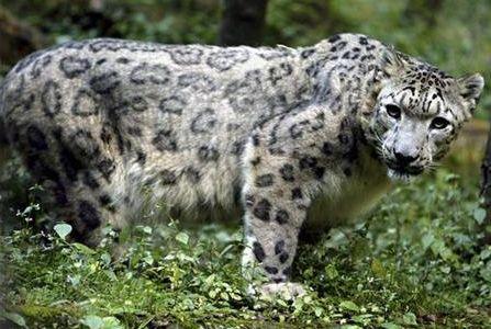 Leopardo de las nieves está en riesgo de extinción